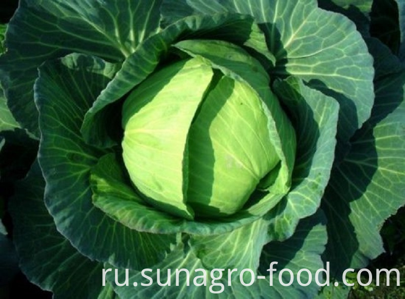 Healthy And Delicious Cabbage