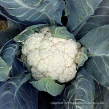 CF55 Genius 55 jours maturité hybride graines de chou-fleur blanc