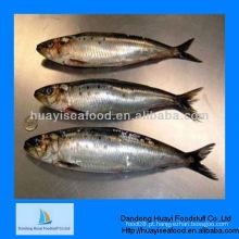 Peixe congelado para alimentação sardinha