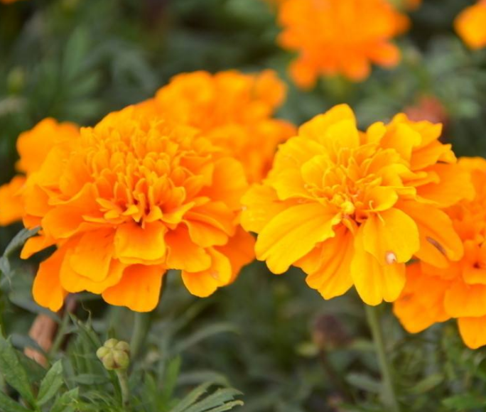 French marigold seeds for planting