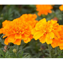 China Top 10 for Bigflower Coreopsis French marigold seeds for planting supply to Denmark Manufacturers