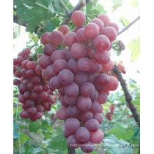 Красный виноградный глобус