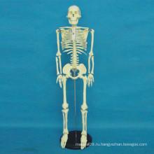 Модель тела человеческого скелета высокого качества для медицинского обучения (R020103)