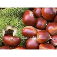 Chestnuts Fresh Preserved