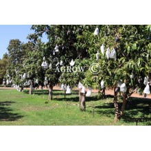 Mango Growing Paper Bags