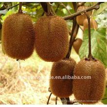 Fruta fresca de kiwi suculenta