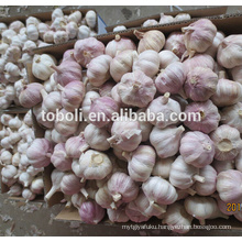 fresh purple garlic