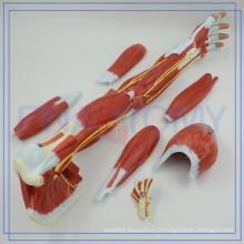 PNT-0331 Nouveau modèle de muscle de bras de promotion étiqueté pour