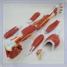 ПНТ-0331 новая акция мышечная модель рука с надписью для