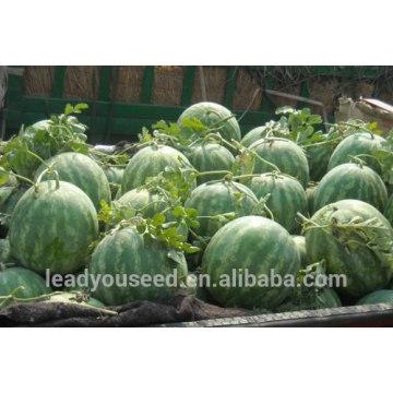 NW09 Haoqu sementes de melancia vermelha para sementes de campo aberto melancia