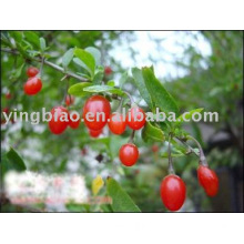 Goji berry (Wolfberry) Extract Powder