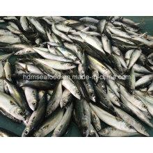 New Fish Mackerel (Scomber Japonicus)