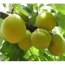 Egyptian best taste fresh apricot for sale