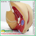 SELL 12446 Life Size Pelvic Organ Section Anatomical Model 4 Parts