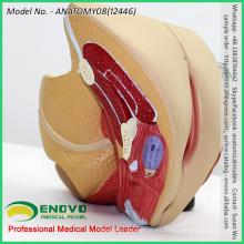 VENDER 12446 Sección anatómica del órgano pélvico de tamaño natural 4 piezas