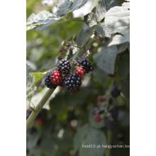 Individual Quick Freezin-IQF Orgânico Blackberry Zl-1015