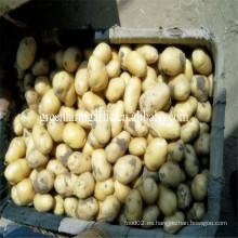 Tipo de producto de papa y estilo fresco Patata china