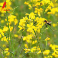 Natural mature pure rape bee honey