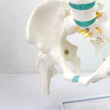 SPINE04-1 (12376) Modelo espinal de columna vertebral de tamaño natural para ciencias médicas con modelos de fémur y columna vertebral / vértebras