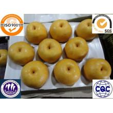 лучшие свежие Синго экспорта груш в Мексику