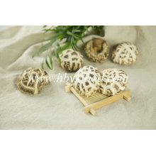 Getrockneter Shiitake-Pilz mit Stock (weiße Blume)