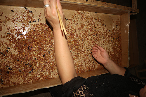 Birds Feed Dried Mealworms