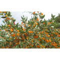 yellow Wolfberry Seedlings on hot sell