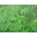 Natrural Asteraceae Artemisinin Artemisia Annua L. Extracto
