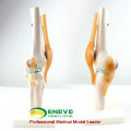 JOINT05 (12351) Medical Anatomy Science Humans Skeleton Knee Joint Anatomy Models