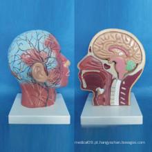 Modelo de anatomia médica vascular do nervo facial superficial humano (R050127)