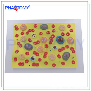 PNT-0421 Human Body Anatomy Biological Teaching Aids Blood Cells Model