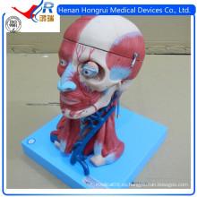 ISO Vivid modelo anatómico del cerebro con los vasos, cabeza cuello modelo