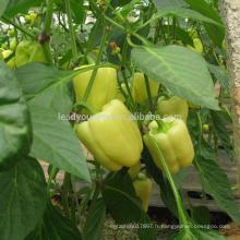 SP30 Baiyan extrêmement précoce maturité spécial couleur poivron graines hybride
