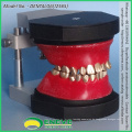 VERKAUFEN 12565 Dental Kieferorthopädische Zähne Typodont Modell