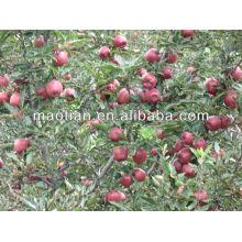 Manzana fresca de Huaniu de la cosecha de las tierras altas de 2013