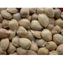 Amêndoa doce em Shell (longwangmao 19-22mm)