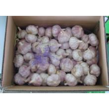 Nouvelle culture d'ail blanc normal (5.0cm et plus)