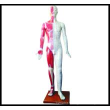 Modèle de corps humain d'acupuncture (M-1-178)