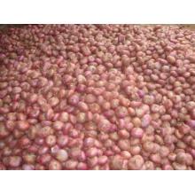 Nueva cosecha de cebolla roja.