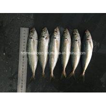 Novo pescado redondo Scad para venda (14-18cm)