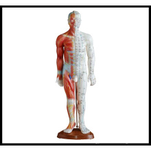 Acupuncture & Muscle Model (M-1-55)