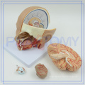 PNT-1632 life size human brain model