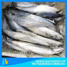fresh spanish mackerel fish