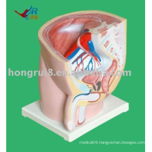 male sagittal anatomy model (1 piece)