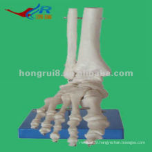 Life-size Foot Joint skeleton Model,human foot