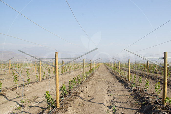 Grape trellis hops trellises