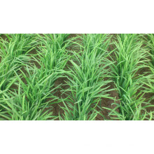 HLE01 Huati small hybrid chinese chive/leek seeds for sale