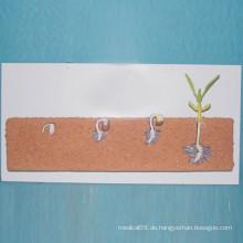 Schule Biologie Lehre Hülsenfrüchten Samen Pflanze Modelle (R200105)