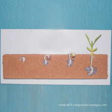 School Biology Teaching Legume Seeds Plant Models (R200105)
