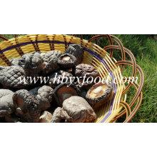 Cogumelo liso inteiro secado / bom gosto 3-5cm